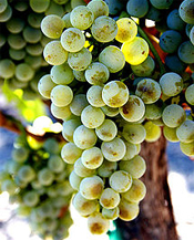 Semillon Grapes